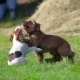 Two Puppies Playing - VideoHive Item for Sale