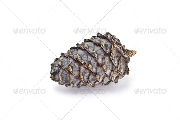 Cedar cone - Stock Photo - Images