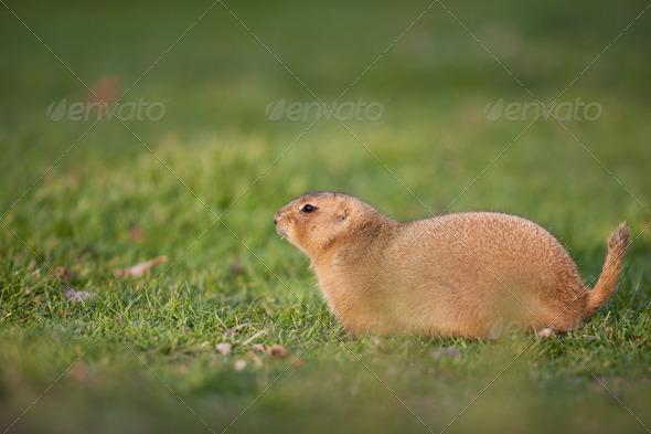 black tailed prairie dog - Stock Photo - Images