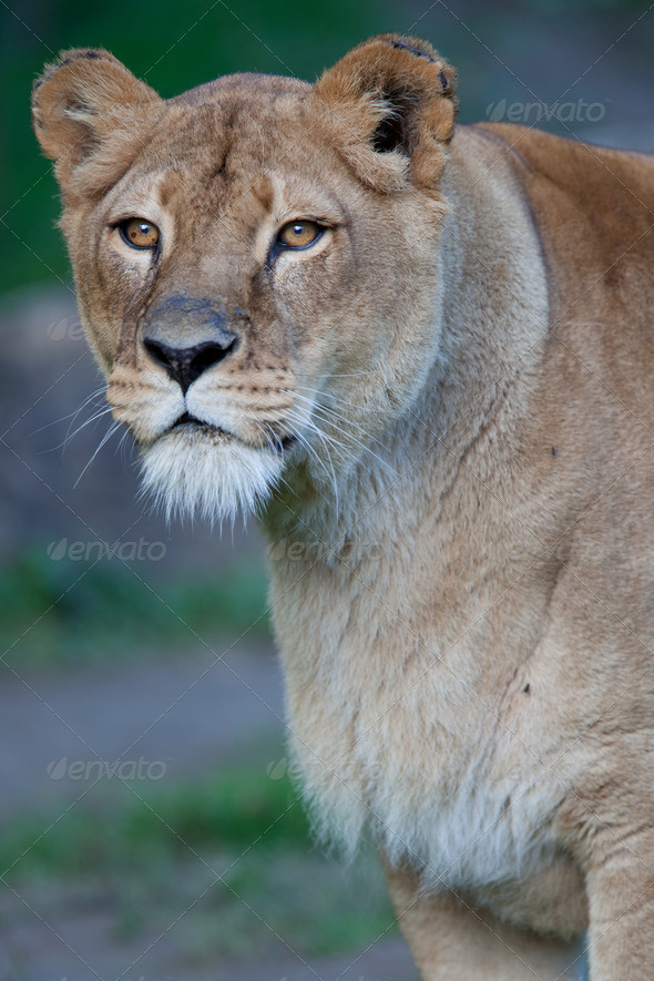 Close-up portrait of a majestic lioness (Panthera Leo) - Stock Photo - Images