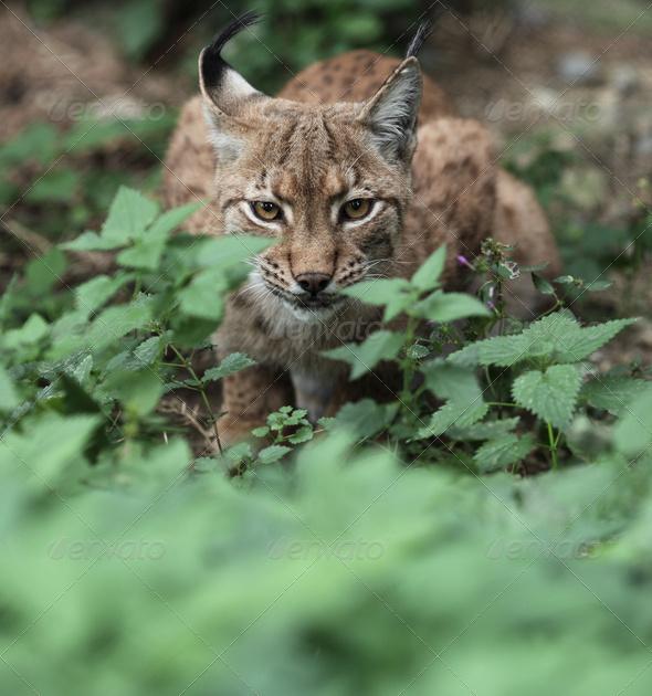 Close-up portrait of an Eurasian Lynx (Lynx lynx) - Stock Photo - Images