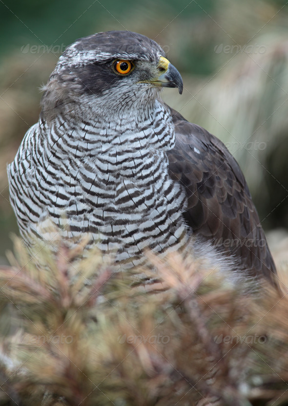 Portrait of a majestic hawk - Stock Photo - Images