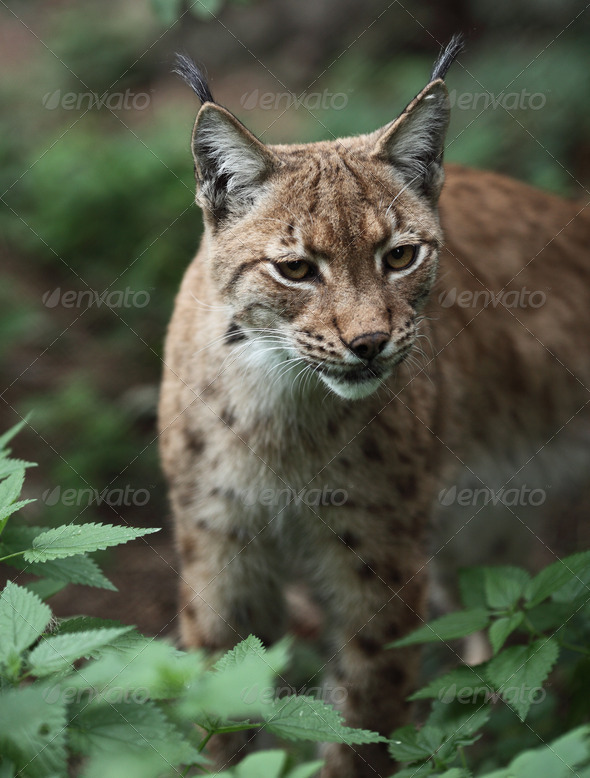 Close-up portrait of an Eurasian Lynx (Lynx lynx) - Stock Photo - Images