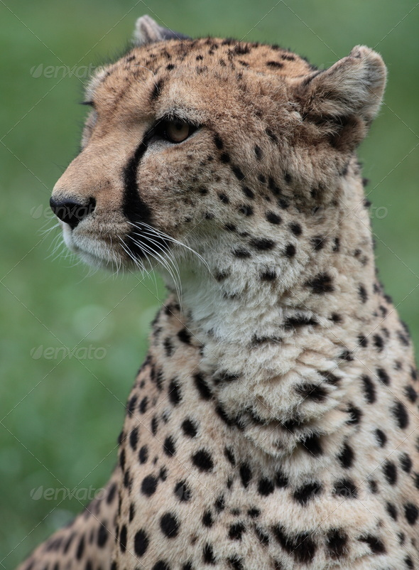 Close-up of a beautiful cheetah (Acinonyx jubatus) - Stock Photo - Images