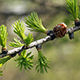 Larch in Spring 2 - VideoHive Item for Sale