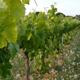 Vineyard Fields at Sunset Vine Lane - VideoHive Item for Sale