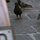 Pigeons in the City Wednesday - VideoHive Item for Sale
