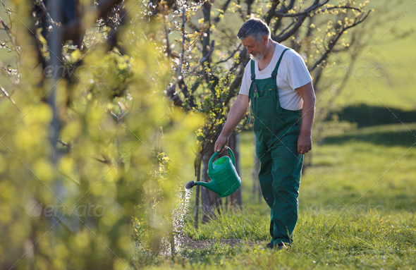 watering orchard/garden - portrait of a senior man gardening in - Stock Photo - Images