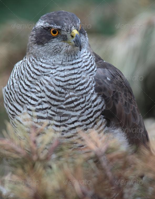 Portrait of a majestic hawk - Stock Photo - Images