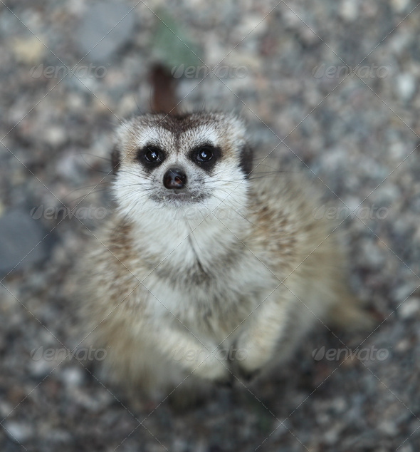 Funny and cute suricate (meerkat) - Stock Photo - Images