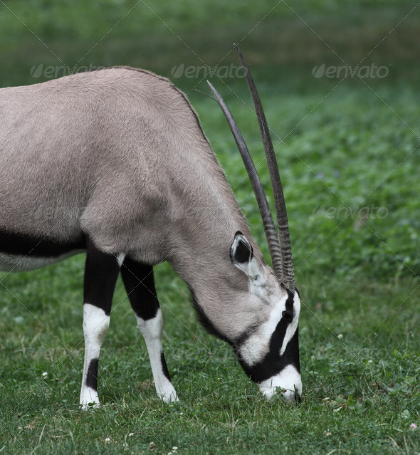 Gemsbok antelope (Oryx gazella) - Stock Photo - Images