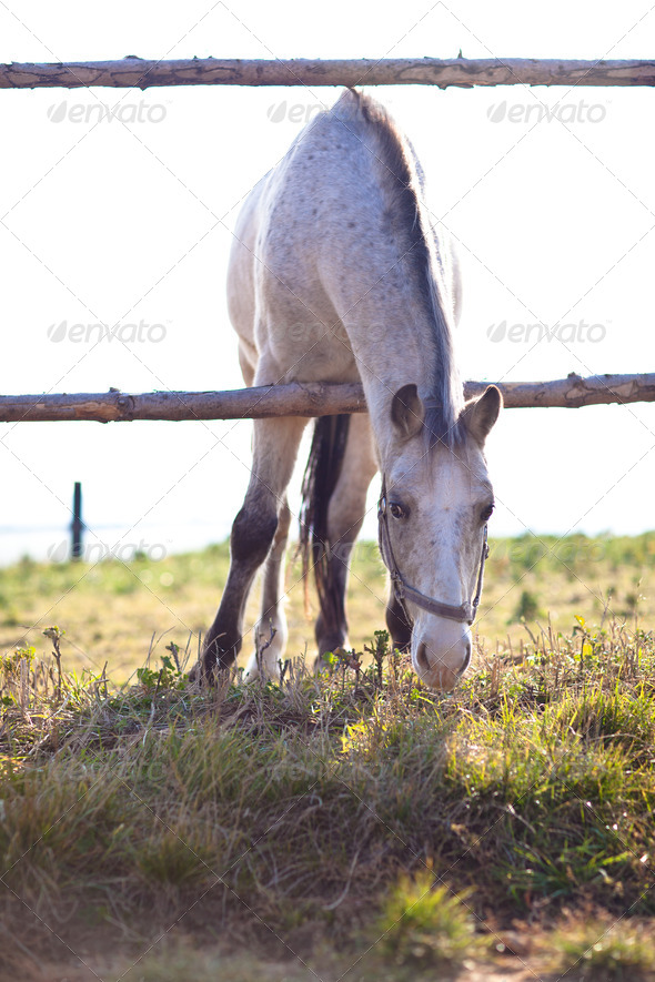 beautiful white horse grazing on grass on a sunny day (color ton - Stock Photo - Images