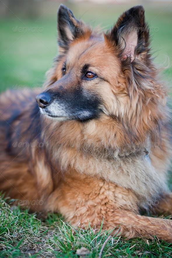 Belgian Shepherd Dog - Stock Photo - Images