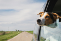 the dog rides in the car - PhotoDune Item for Sale