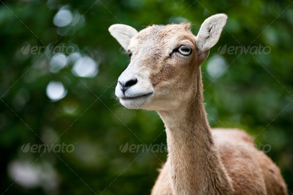 West Caucasian tur (Capra caucasica) - Stock Photo - Images