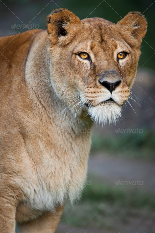majestic lion - Stock Photo - Images