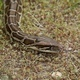 Snake Crawling on the Ground - VideoHive Item for Sale