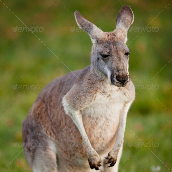 KANGAROO - Stock Photo - Images