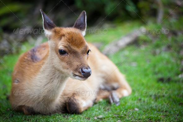 sika deer (lat. Cervus nippon) doe - Stock Photo - Images