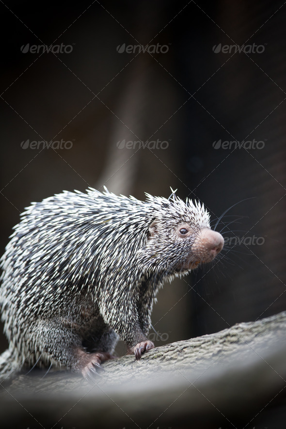 Close-up of a cute Brazilian Porcupine (Coendou prehensilis; sha - Stock Photo - Images