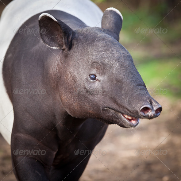 Malayan Tapir, also called Asian Tapir (Tapirus indicus) - Stock Photo - Images