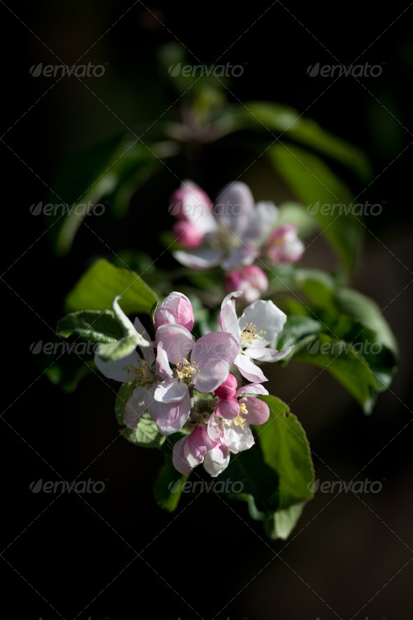close-up view of a blossoming apple tree on a lovely sunny sprin - Stock Photo - Images