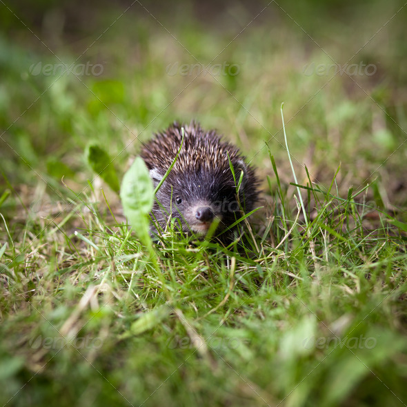 Baby European Hedgehog (Erinaceus europaeus) sniffing in grass, - Stock Photo - Images