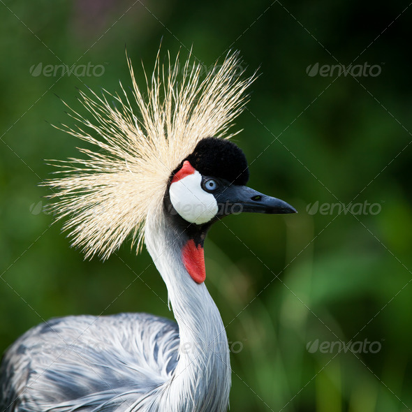 Close-up of a Grey Crowned Crane (Balearica regulorum) - Stock Photo - Images