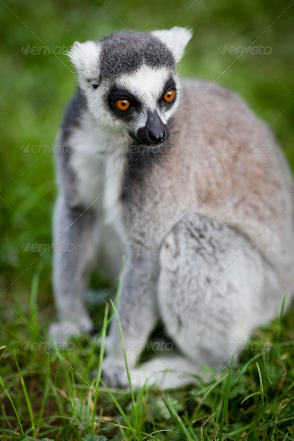 Lemur kata (Lemur catta) - Stock Photo - Images