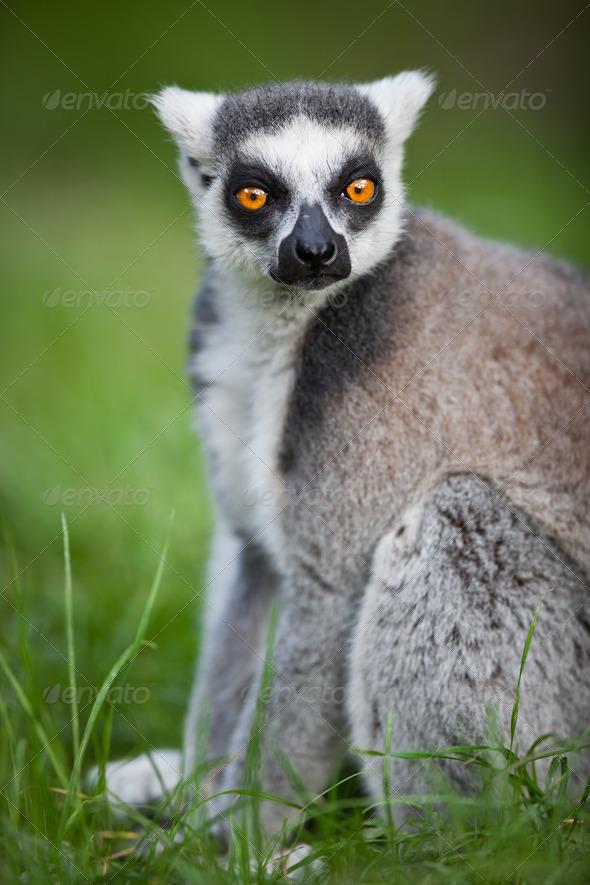 Lemur kata (Lemur catta) - Stock Photo - Images
