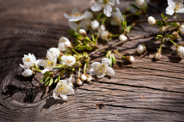 Blossoming branch of cherry - Stock Photo - Images
