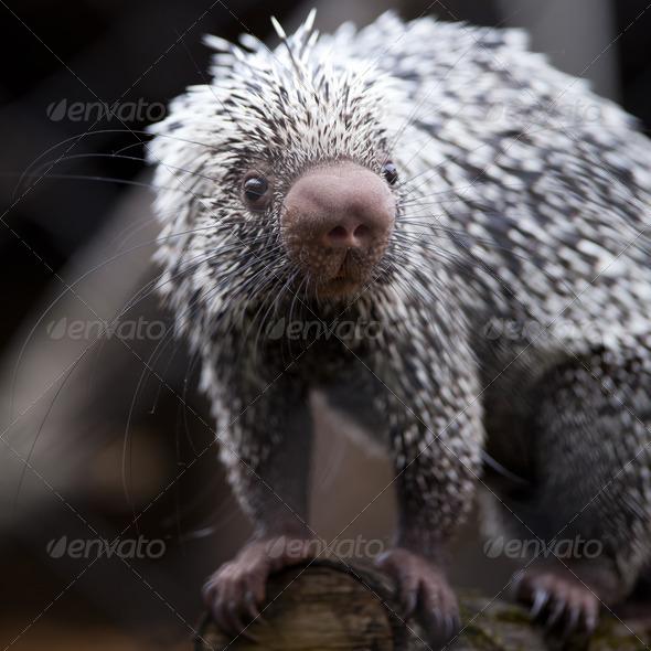 Close-up of a cute Brazilian Porcupine (Coendou prehensilis; sha - Stock Photo - Images