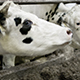 White Cows Into The Cowshed - VideoHive Item for Sale