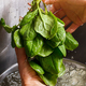 Man's hands washing spinach. - PhotoDune Item for Sale