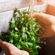 Man's hands washing parsley. - PhotoDune Item for Sale