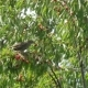 Common Blackbird On The Cherries - VideoHive Item for Sale
