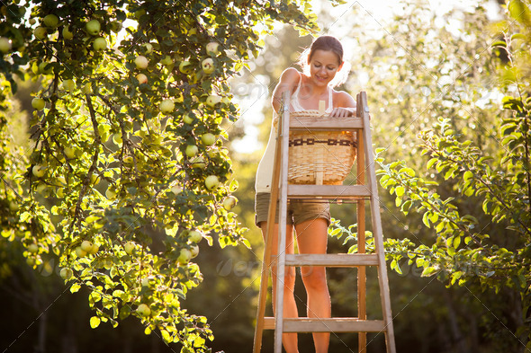 Young woman up on a ladder picking apples from an apple tree on - Stock Photo - Images