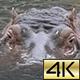 The common hippopotamus (Hippopotamus amphibius) 03 - VideoHive Item for Sale