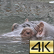 The Common Hippopotamus (Hippopotamus Amphibius) 02 - VideoHive Item for Sale