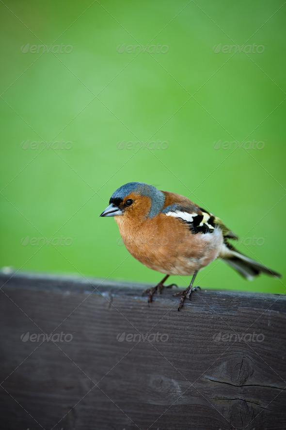 Male chaffinch (Fringilla coelebs) - Stock Photo - Images
