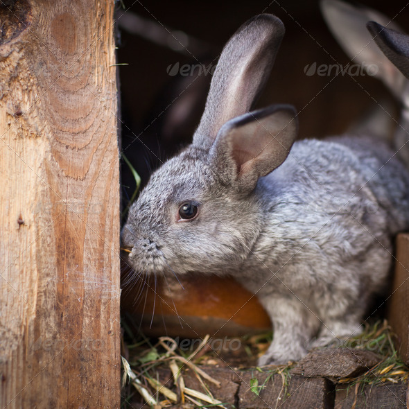Young rabbits popping out of a hutch (European Rabbit - Oryctola - Stock Photo - Images