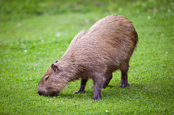 Capybara (Hydrochoerus hydrochaeris) grazing on fresh green gras - Stock Photo - Images