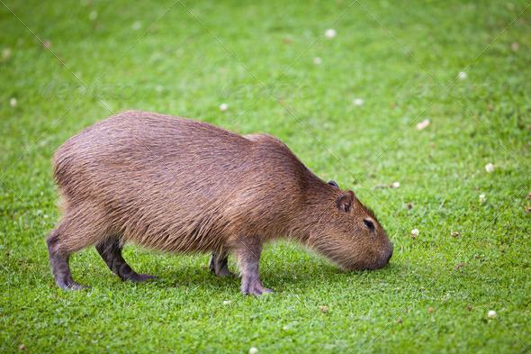 Capybara (Hydrochoerus hydrochaeris) grazing on fresh green gras - Stock Photo - Images