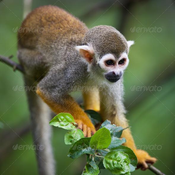 Close-up of a Common Squirrel Monkey (Saimiri sciureus; shallow - Stock Photo - Images