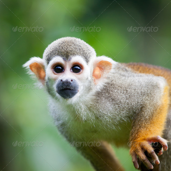 Close-up of a Common Squirrel Monkey (Saimiri sciureus; shallow - Stock Photo - Images