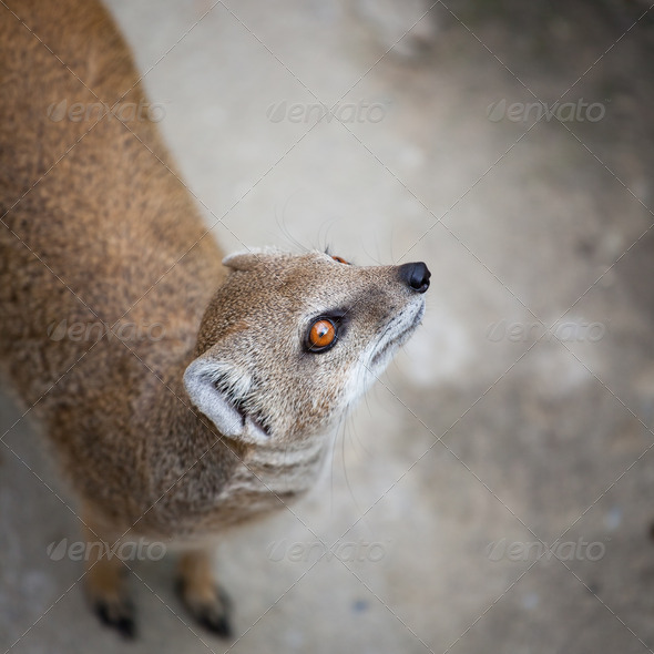 cute yellow mongoose - Stock Photo - Images