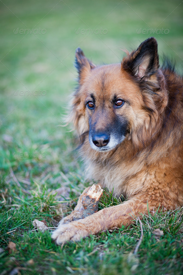 Belgian Shepherd Dog - Stock Photo - Images