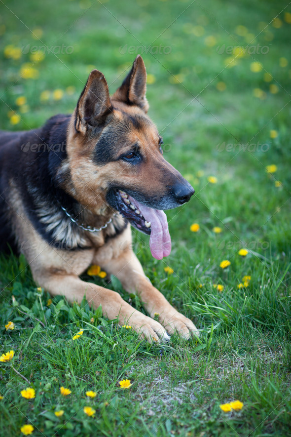 Clever German Shepherd dog lying in the spring grass, waiting fo - Stock Photo - Images