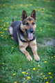 Clever German Shepherd dog lying in the spring grass, waiting fo - PhotoDune Item for Sale