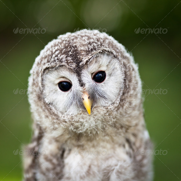 Close up of a baby Tawny Owl (Strix aluco) - Stock Photo - Images